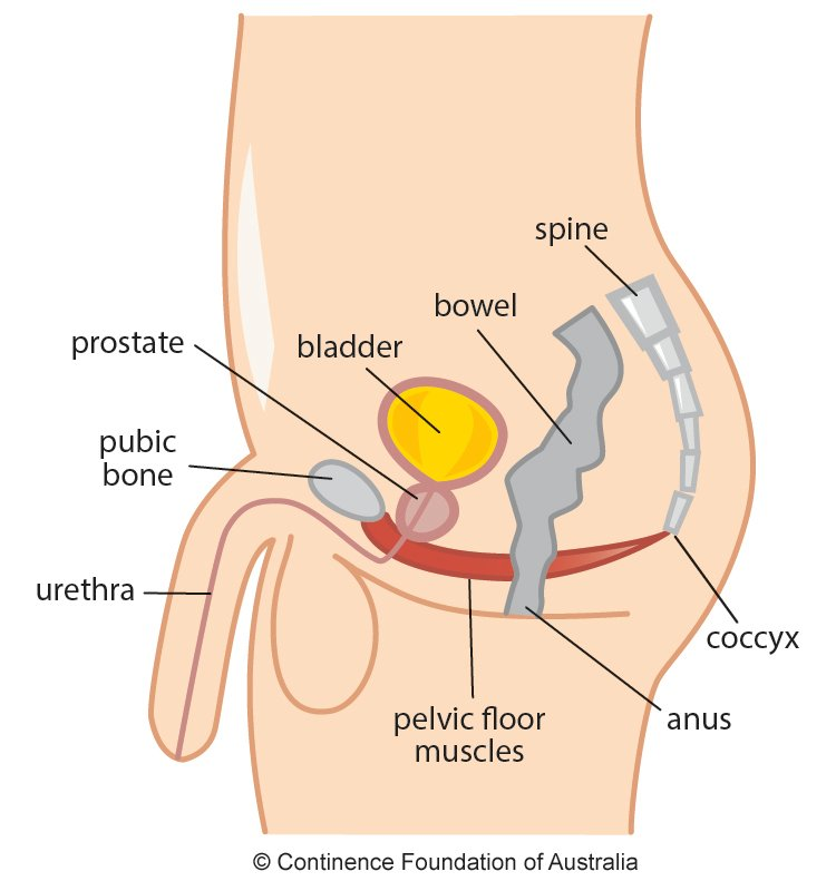 Male pelvic floor diagram